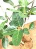 観葉植物 フィカス ベンガレンシス 【135cm】 フィカス ベンガレンシス 8号 #34636 ラスターポット付き 2枚目