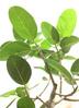 観葉植物 フィカス ベンガレンシス 【135cm】 フィカス ベンガレンシス 8号 #34636 ラスターポット付き 3枚目