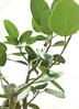 観葉植物 フィカス ベンガレンシス 【115cm】 フィカス ベンガレンシス 8号 #34637 ラスターポット付き 3枚目