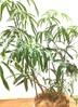 観葉植物 シェフレラ アンガスティフォリア 【140cm】 シェフレラ アンガスティフォリア 8号 #34640 ラスターポット付き 2枚目