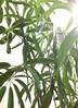 観葉植物 シェフレラ アンガスティフォリア 【140cm】 シェフレラ アンガスティフォリア 8号 #34640 ラスターポット付き 3枚目