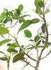観葉植物 フィカス ベンガレンシス 【122cm】 フィカス ベンガレンシス 8号 #34639 ラスターポット付き 3枚目