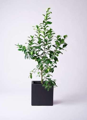 果樹 レモンの木 8号 リスボン ベータ キューブプランター 黒 付き