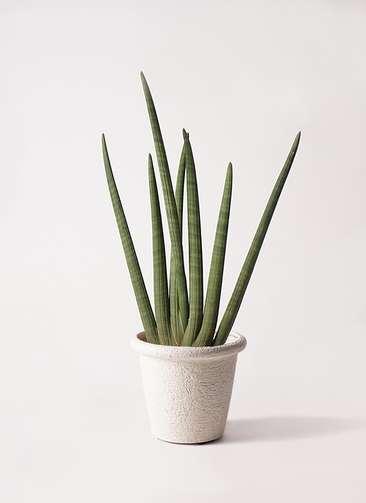 観葉植物 サンスベリア スタッキー 8号 ビアスリムス 白 付き