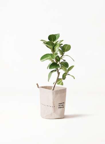 観葉植物 フィカス ベンガレンシス 6号 ストレート ラップサック 付き
