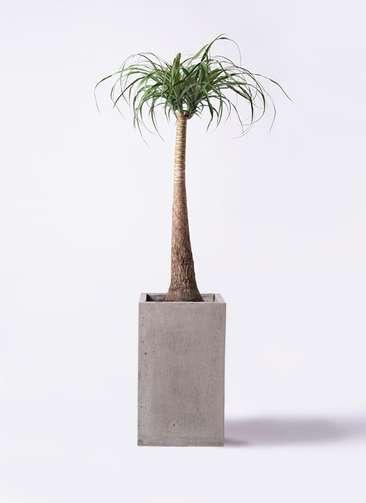 観葉植物 トックリラン 8号 セドナロング グレイ 付き