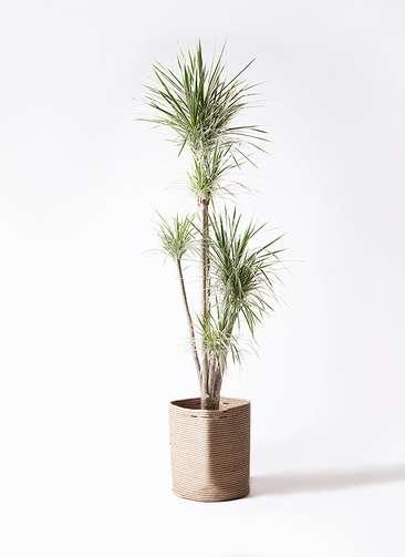 観葉植物 コンシンネ ホワイポリー 10号 ストレート リブバスケットNatural 付き