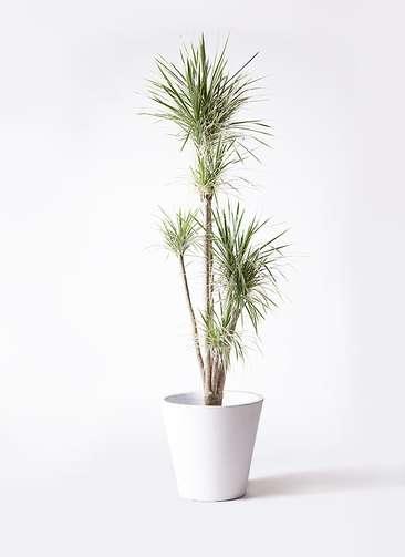 観葉植物 コンシンネ ホワイポリー 10号 ストレート フォリオソリッド 白 付き