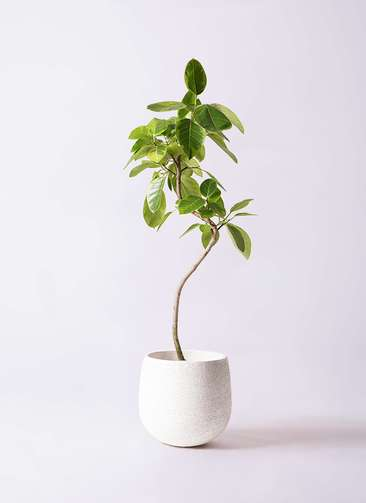 観葉植物 フィカス アルテシーマ 8号 曲り エコストーンwhite 付き