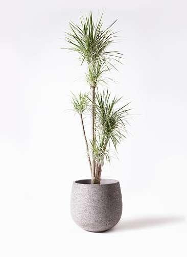観葉植物 コンシンネ ホワイポリー 10号 ストレート エコストーンGray 付き