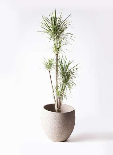 観葉植物 コンシンネ ホワイポリー 10号 ストレート エコストーンLight Gray 付き