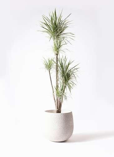 観葉植物 コンシンネ ホワイポリー 10号 ストレート エコストーンwhite 付き
