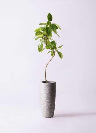 観葉植物 フィカス アルテシーマ 8号 曲り エコストーントールタイプ Gray 付き