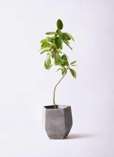 観葉植物 フィカス アルテシーマ 8号 曲り ファイバークレイ Gray 付き