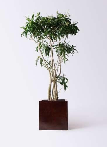 観葉植物 ドラセナ ソング オブ ジャマイカ 10号 MOKU キューブ 付き