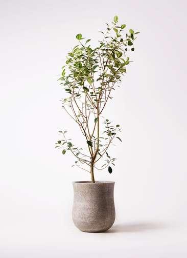 観葉植物 フランスゴムの木 10号 ノーマル アローナラウンド ベージュ 付き