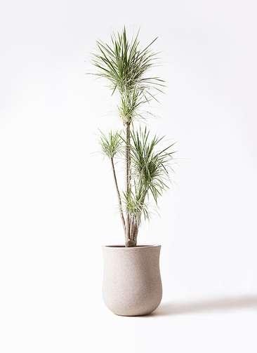 観葉植物 コンシンネ ホワイポリー 10号 ストレート アローナラウンド 白 付き
