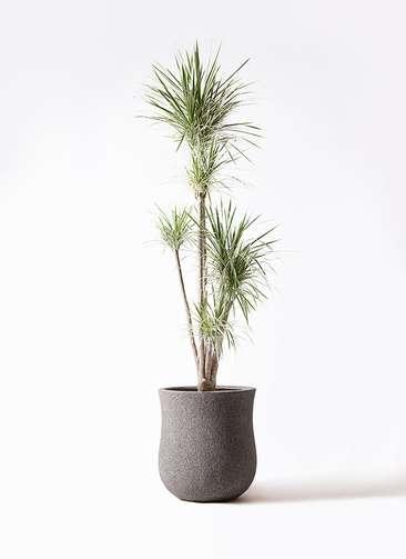 観葉植物 コンシンネ ホワイポリー 10号 ストレート アローナラウンド グレイ 付き