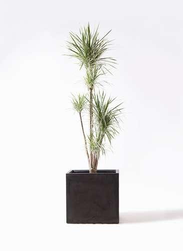 観葉植物 コンシンネ ホワイポリー 10号 ストレート ファイバークレイ 付き