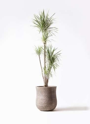 観葉植物 コンシンネ ホワイポリー 10号 ストレート アローナラウンド ベージュ 付き