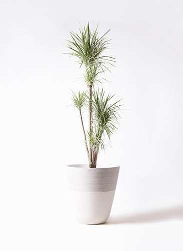 観葉植物 コンシンネ ホワイポリー 10号 ストレート ジュピター 白 付き