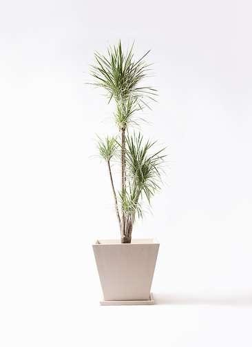 観葉植物 コンシンネ ホワイポリー 10号 ストレート パウダーストーン 白 付き