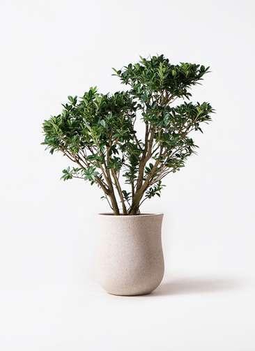 観葉植物 ガジュマル 10号 ベビーリーフ アローナラウンド 白 付き