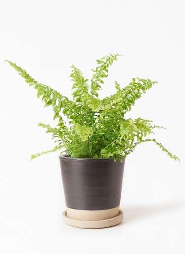 観葉植物 ネフロピレス 3.5号 マット グレーズ テラコッタ ブラック 付き