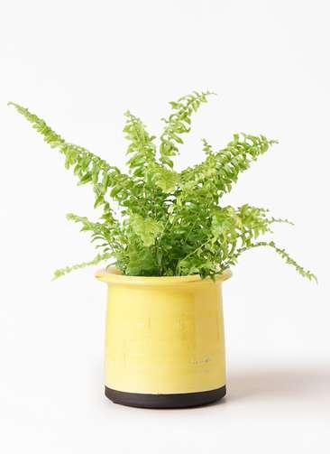 観葉植物 ネフロピレス 3.5号 アンティークテラコッタ イエロー 付き