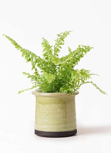 観葉植物 ネフロピレス 3.5号 アンティークテラコッタ グリーン 付き