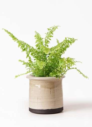 観葉植物 ネフロピレス 3.5号 アンティークテラコッタ グレイ 付き