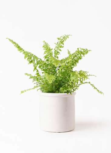 観葉植物 ネフロピレス 3.5号 アンティークテラコッタ ホワイト 付き