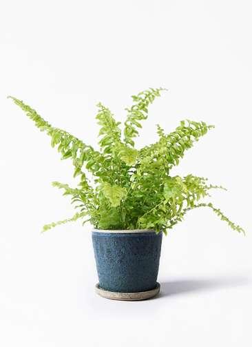 観葉植物 ネフロピレス 3.5号 フェイバーポット ブルー 付き