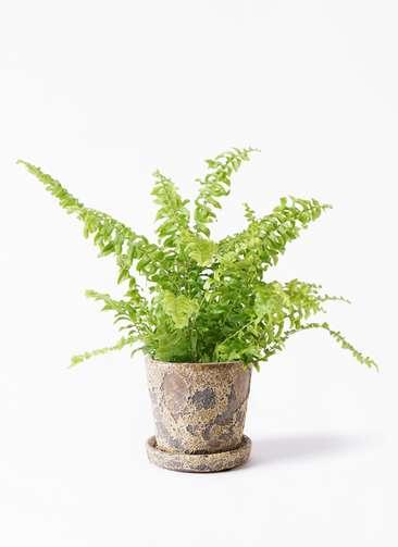 観葉植物 ネフロピレス 3.5号 ハレー カーキー 付き