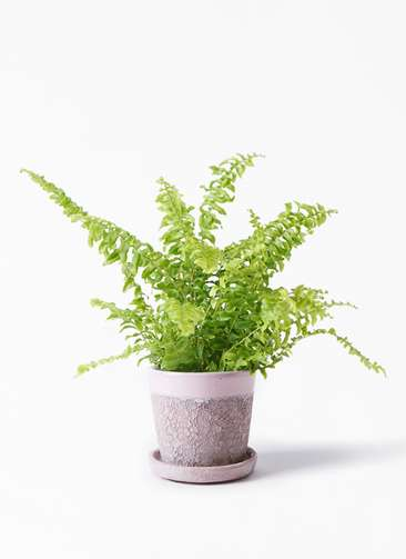 観葉植物 ネフロピレス 3.5号 ハレー ピンク 付き