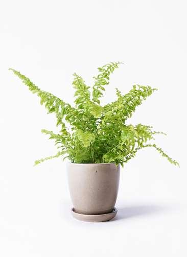 観葉植物 ネフロピレス 3.5号 アステア トール ベージュ 付き
