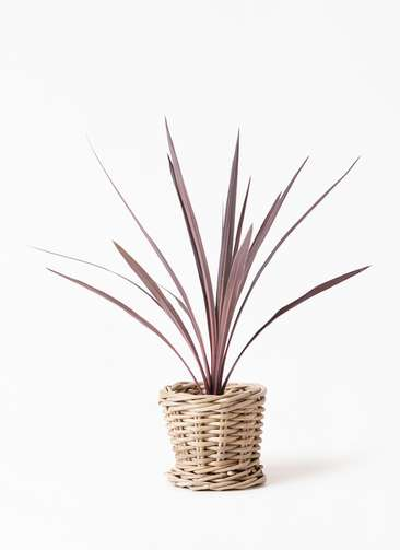観葉植物 コルディリネ (コルジリネ) レッドスター 4号 グレイラタン 付き