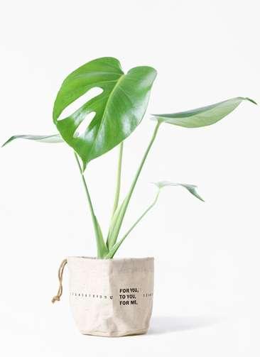 観葉植物 モンステラ 4号 ボサ造り ラップサック 付き