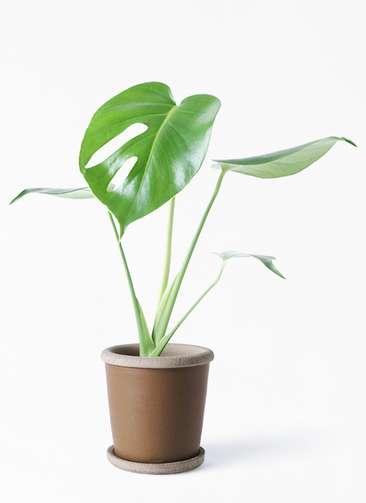 観葉植物 モンステラ 4号 ボサ造り マット グレーズ テラコッタ ブラウン 付き