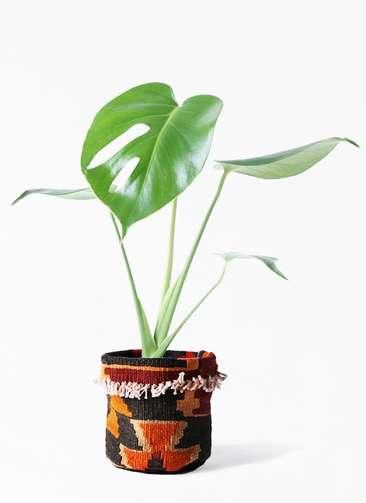観葉植物 モンステラ 4号 ボサ造り キリムポット 付き