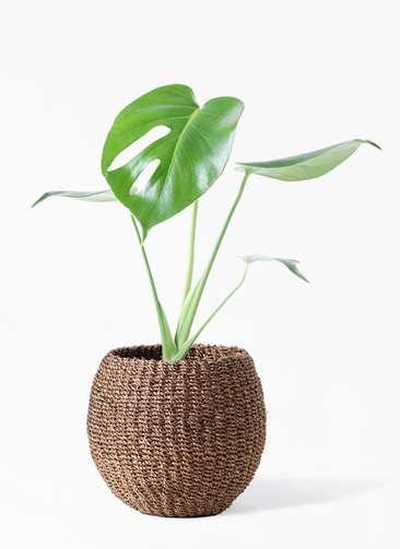 観葉植物 モンステラ 4号 ボサ造り アバカバスケット スモーク 付き