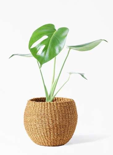 観葉植物 モンステラ 4号 ボサ造り アバカバスケット タン 付き