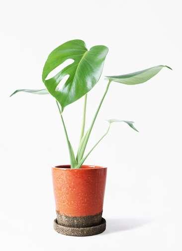観葉植物 モンステラ 4号 ボサ造り ヴィフポット オレンジ 付き