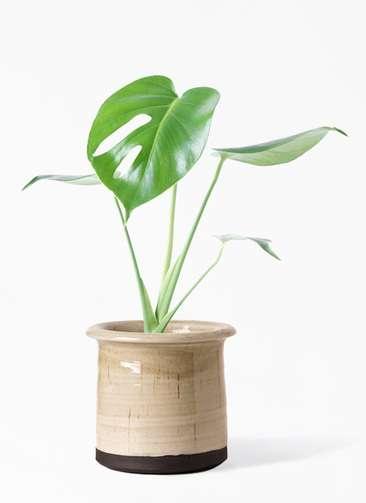 観葉植物 モンステラ 4号 ボサ造り アンティークテラコッタ グレイ 付き
