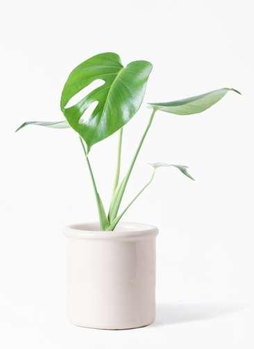 観葉植物 モンステラ 4号 ボサ造り アンティークテラコッタ ホワイト 付き