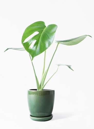 観葉植物 モンステラ 4号 ボサ造り アステア トール グリーン 付き