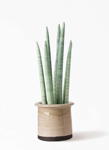 観葉植物 サンスベリア スタッキー 4号 アンティークテラコッタ グレイ 付き