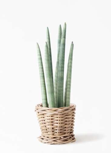 観葉植物 サンスベリア スタッキー 4号 グレイラタン 付き