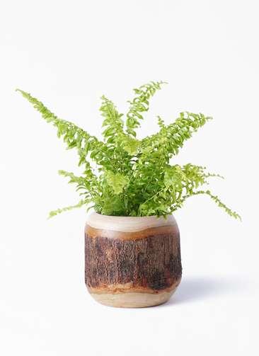 観葉植物 ネフロピレス 3.5号 マンゴーウッド 付き