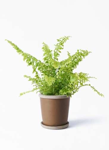 観葉植物 ネフロピレス 3.5号 マット グレーズ テラコッタ ブラウン 付き